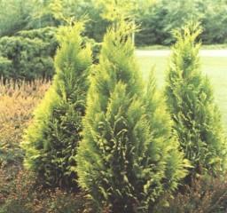 conifer3