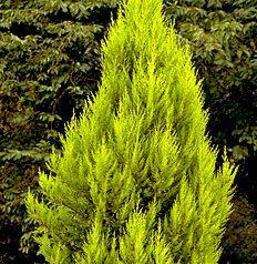 conifer1
